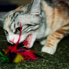 Экстренная помощь для кошки